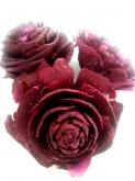 Dekorace přírodní Cedar rose 4 ks