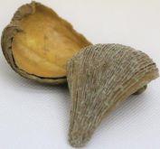 Dekorace přírodní Pradeep pod cca 7-9cm - 5ks