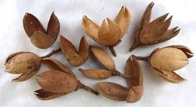 Dekorace přírodní Chikrasia 5-6cm - 8ks